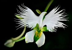 Orchid - flying dove