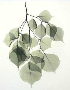 Beyond Light, a web site about Albert Koetsier's artwork about the intersection of art (photography) and science (X-Rays) Watercolor Flowers, Watercolor Paintings, Mural Floral, Inspiration Artistique, Plant Art, Plant Illustration, Leaf Art, Botanical Art, Art Drawings