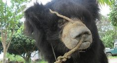 TO SIGN: Bring an end to the practice of 'dancing bears' https://www.change.org/p/the-people-of-nepal-bring-an-end-to-the-practice-of-dancing-bears-2