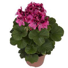 Regalia Pink #franse #geranium #edelgeranie #regal #pelargonium #garden #plants #flowers