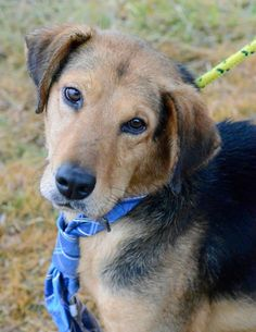 #141683 Rolf is a Handsome Boy 4-5 years old, 21 lbs–Shep/hound mix  Stray Very shy at first. Dog selective, no cats, best in an older family,kids over 13,  4 DX: HW positive (lyme negative) https://pledgie.com/campaigns/27142 Mullins, SC- Marion Co. MCAS is a high-kill, open-intake COUNTY Facility https://www.facebook.com/PawsToTheRescueAtMarionCountyAnimalShelter/photos/a.181901978588650.34200.181656871946494/639914676120709/?type=3&theater