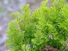 Parsley fern (Cryptogramma crispa)