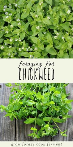Foraging for Chickweed Chickweed is a highly nutritious edible weed that also has medicinal benefits. Foraging for chickweed is easy, and it may even be growing in your backyard!