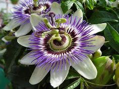 Passion flower (Passiflora caerulea)... climber with amazing flowers and edible fruit