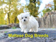 Maltese dogs: 6 facts about the small dog breed-Malteser-Hunde: 6 Fakten über die kleine Hunderasse Maltese dogs are among the oldest dog breeds in Europe – Shutterstock / Sadovnikovrn - Maltese Dog Breed, Purebred Dogs, Maltese Puppies, Small Puppies, Small Dogs, Dogs And Puppies, Miniature Dog Breeds, Old Dogs, Small Dog Breeds