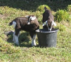 How to Breed Pygmy Goats