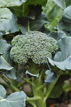 What to Plant in SEPTEMBER - broccoli!