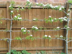 If you like the idea of having a fruit tree in your garden but don't have the space – then plant what's called an espalier. It's a technique that creates a beautiful plant …