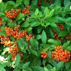 Bright orange-red berries adorn this plant in winter and are its best attribute. It's an evergreen to semi-evergreen; its leaves might turn a green-brown in fall and winter. It can be used in a hedge or espaliered against a wall or on a trellis.