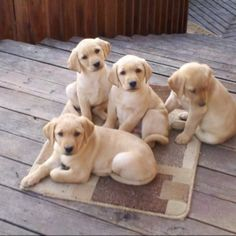 Yellow lab puppies on the decking
