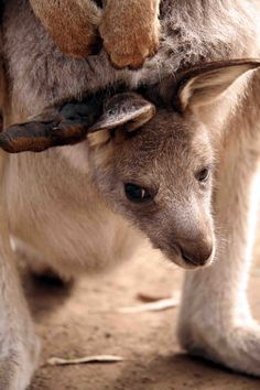 A kangaroo joey in its mother's pouch
