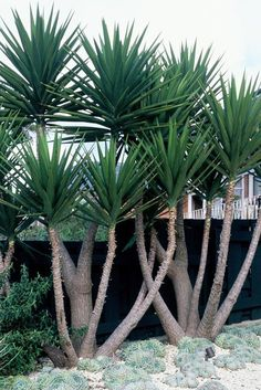 Nice upright variety of yucca. Yucca comes in many varieties. I really like these in the landscape. Succulent Landscaping, Tropical Landscaping, Modern Landscaping, Landscaping Plants, Tropical Garden, Succulents Garden, Planting Flowers, Landscaping Ideas, Landscaping Software