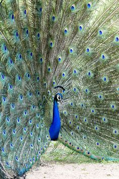 PEACOCK-2008 | Flickr - Photo Sharing!