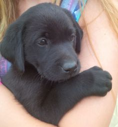 Mind Blowing Facts About Labrador Retrievers And Ideas. Amazing Facts About Labrador Retrievers And Ideas. Labrador Puppy Training, Labrador Puppies For Sale, Black Lab Puppies, Cute Dogs And Puppies, I Love Dogs, Doggies, Labrador Dogs, Golden Labrador, Puppies Puppies