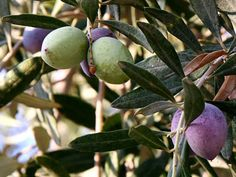 Mrazuvzdorný olivovník európsky - Chalkidiki Plum, Fruit, The Fruit