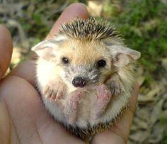 pet hedgehog!