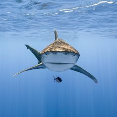 """Photo: @andy_mann // Pelagic sharks, like this Oceanic Whitetip, rely on several instinctual feeding mechanisms when they hunt and """"opportunity"""" is the most important of them all. When you spend you entire life in the deep blue desert you must investigate each and every opportunity for a potential meal. Pelagic sharks are also some of the most intelligent sharks and their curiosity makes them one of the most exciting and colorful sharks to photograph. You will likely get at least one good…"""