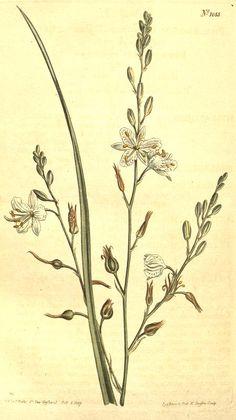 Branching Spider-Wort (1807) - Curtis's botanical magazine.
