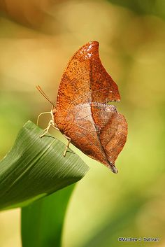 Leaf Mimic Butterfly