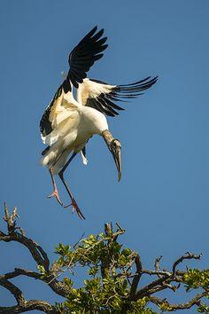 Wood Stork Landing wildlife photography by Dave Allen Kinds Of Birds, All Birds, Birds Of Prey, Love Birds, Pretty Birds, Beautiful Birds, Animals Beautiful, Unusual Animals, Beautiful Places