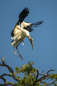 Wood Stork Landing wildlife photography by Dave Allen