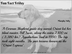 They are so much more than simply a dog! #goldenretriever #FunFactFriday #secondchance Fun Fact Friday, Scotch Collie, King Spaniel, Raining Cats And Dogs, Shetland Sheepdog, Fun Facts, Sheltie, How To Find Out, Dog Cat