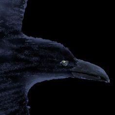 #illustration #painting #tatsurokiuchi #art #drawing #life #lifestyle #happy #japan #people #木内達朗 #イラスト #イラストレーション #raven #crow #bird