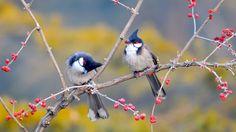 Twee roodoorbuulbull vogels op een tak