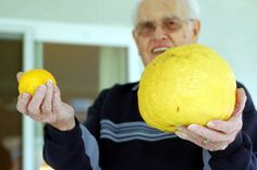 FOUNTAIN VALLEY – Warren and Betty Balfour swear they don't feed their Meyer lemon tree anything special. For years, many of the trees in their Fountain Valley yard have borne fruit &nd…