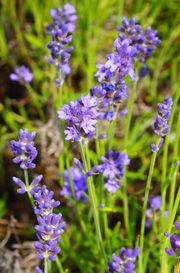$5 for a bunch full-ask for french lavendar-call ahead Willow pond  145 Tract Rd, Fairfield, PA 17320  717-642-6387