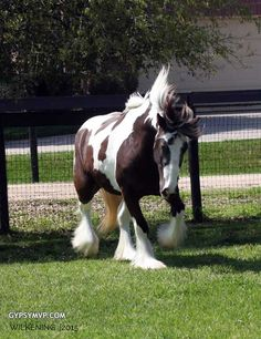 Gypsy Vanner Horses for Sale | Filly | Piebald | Magnolia