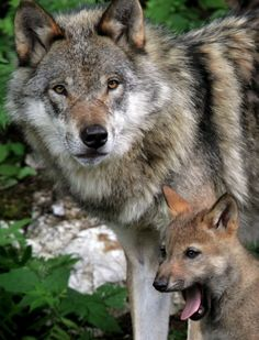 A baby wolf lets out a yawn while standing close to mom. :)