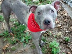 ~~BEAUTIFUL 3 YR OLD GALTO BE DESTROYED 7/28/14~~ Manhattan Center - P My name is PIZZELLE. My Animal ID # is A1007007. *** HELPER DOG *** I am a female gray and white pit bull mix. The shelter thinks I am about 3 YEARS old.  I came in the shelter as a STRAY on 07/17/2014 from NY 10467, owner surrender reason stated was STRAY.  lw