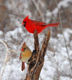 sneeuw vogels.