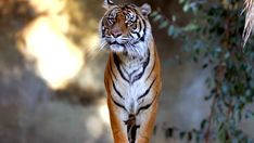 Newest Pic Bengal Cats stripes Style Initially, let's talk about precisely what is truly a Bengal cat. Bengal felines undoubtedly are a pedigree br. Majestic Animals, Animals Beautiful, Cute Animals, Wild Animals, Beautiful Creatures, Baby Animals, Tiger Attack, Animal Attack, Tiger Images