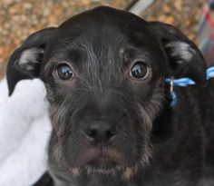 Mabel is an adoptable Labrador Retriever Dog in Atlanta, GA. Hi, my name is MABEL! I am a sweet, sweet girl. I get along well with other dogs and I love to play. I also love all people and always want  to be right by your side. I am around 4 months old.