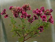 quantock double dymond - Google Search Botany Bay, Google Search, Elegant, Plants, Beautiful, Classy, Plant, Chic, Planets