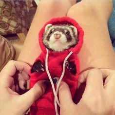 Ferret in a hoodie! I REPEAT FERRET IN A HOODIE.