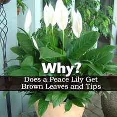 1000 Ideas About Spathiphyllum Care On Pinterest