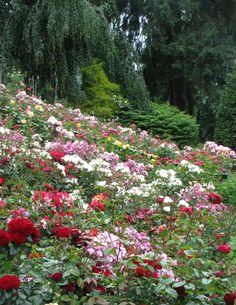 rose gardens portland oregon - Portland Rose Garden