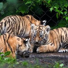 Four baby Siberian tigers explore their new home in Hamburg