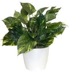 Ivy Plant In Decorative Vase Plants