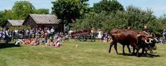 Watch an old fashion Ox pull at the Genesee Country Village & Museum
