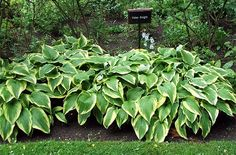 How+to+Transplant+Hostas+