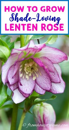 These tips for growing Lenten Rose are the BEST! I need some ground cover plants for the shade and these low maintenance perennials will be perfect. Definitely pinning! #lentenrose #shadeplants #perennials #gardening #plants #gardenideas #hellebores
