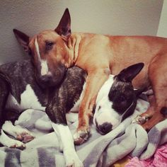 My bull terriers Harley and Rocko.