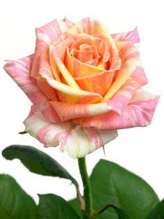 Valentijn is meer dan rood, ook de vrolijke voorjaarskleuren passen prima bij deze dag.   Kies een kleur met een betekenis:  Goddelijkheid, oprechtheid - Blauw Licht, luister, glorie - Geel Hoop, groei, toekomst - Groen Warmte, rijkdom, erotiek - Oranje Ingetogenheid, sensualiteit - Paars Liefde, feestvreugde, hartstocht, moed - Rood Zachte tedere liefde - Roze Vreugde, waarheid, reinheid, tederheid - Wit