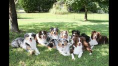 10 Things Only an Australian Shepherd Owner Would Understand | WOOFipedia, provided by the American Kennel Club