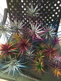 Nine beautiful air plants 4-5 in width bursting with color from a delicate floral paint used on live plants and flowers. No harm. They will continue to grow and bloom.