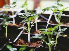 Tipps im März: Kiwi richtig schneiden und Tomaten Setzlinge etc.